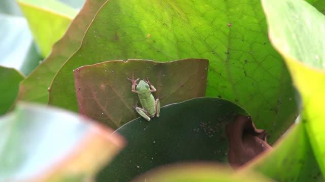 Tiny green frog