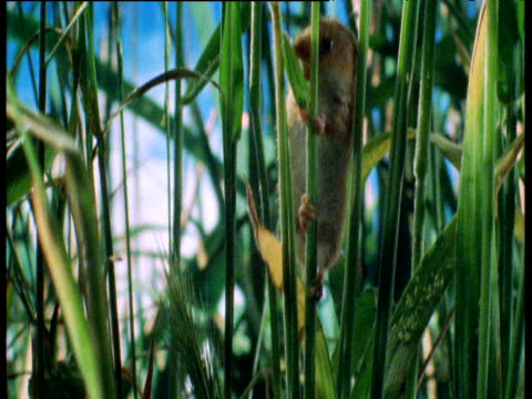 tiny harvest mouse clambers up wheat stalk in cornfield, stalk snaps, uk - human vertebra stock videos & royalty-free footage
