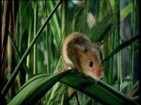 tiny harvest mouse sits on blade of wheat, then clambers off, uk - human vertebra stock videos & royalty-free footage
