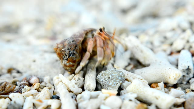 tiny hermit crab walk and focus - hermit crab stock videos & royalty-free footage