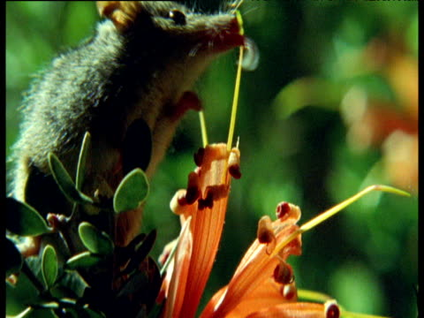 vidéos et rushes de tiny honey possum licks nectar and pollen from red flowers, australia - bouche des animaux
