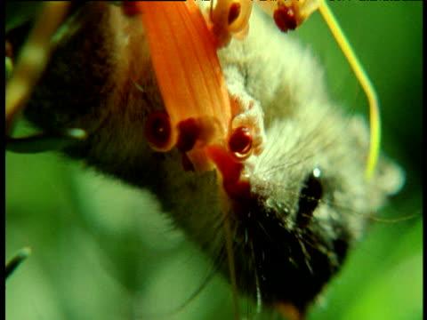 tiny honey possum licks nectar and pollen from red flowers, australia - 有袋類点の映像素材/bロール