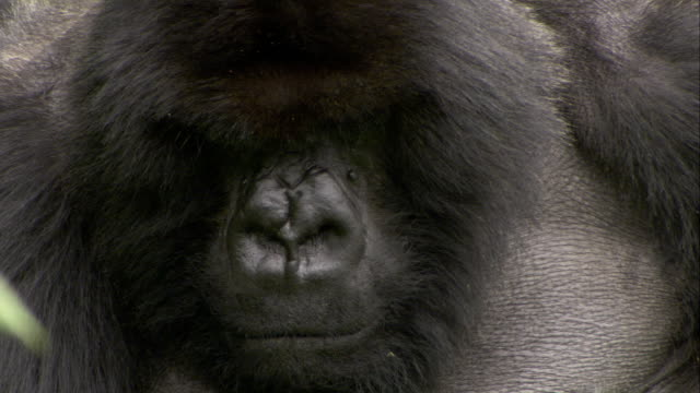 Tiny insects fly around the head of a silverback Mountain Gorilla. Available in HD.