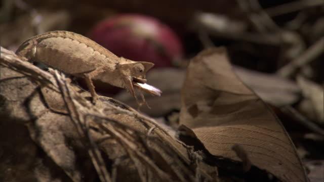 Tiny leaf chameleon (Brookesia) catches and eats cricket prey, Madagascar