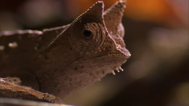 Tiny leaf chameleon (Brookesia) clambers on forest floor, Madagascar