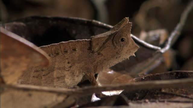 Tiny leaf chameleon (Brookesia) clambers on forest floor, Madagascar