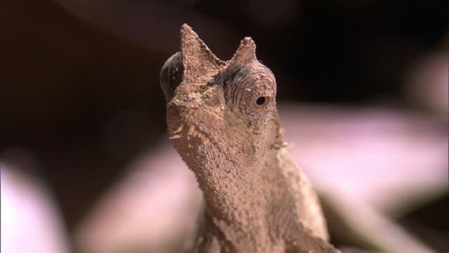 tiny leaf chameleon (brookesia) on forest floor, madagascar - klein stock-videos und b-roll-filmmaterial