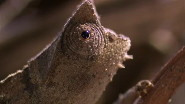 tiny leaf chameleon (brookesia) peers around, madagascar - klein stock-videos und b-roll-filmmaterial
