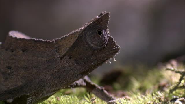 tiny leaf chameleon (brookesia) peers around on forest floor, madagascar - klein stock-videos und b-roll-filmmaterial