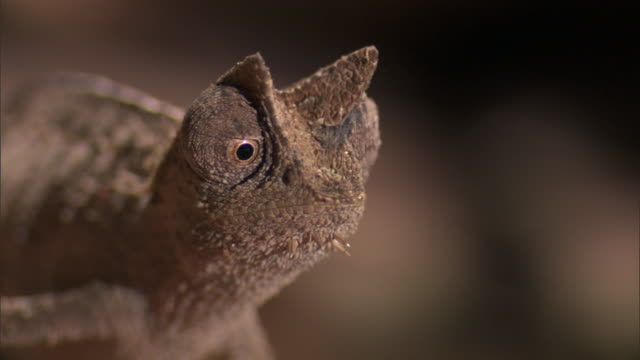 tiny leaf chameleon (brookesia) stares alertly on forest floor, madagascar - klein stock-videos und b-roll-filmmaterial