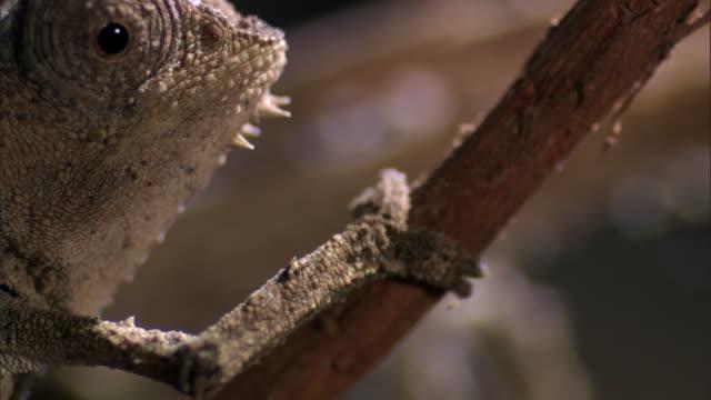 tiny leaf chameleon (brookesia) walks on twig, madagascar - twig stock videos & royalty-free footage