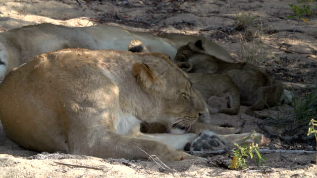 tiny new-born lion cubs play with their mother in the kruger national park, south africa - medium group of animals stock videos & royalty-free footage