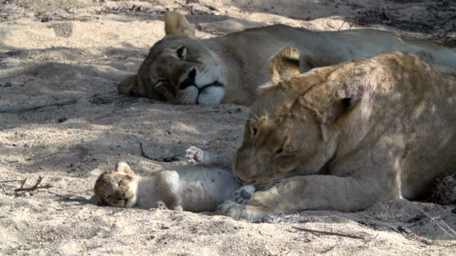 Tiny new-born lion cubs play with their mother in the Kruger National Park, South Africa