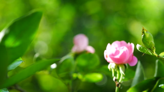 tiny pink rose on tree