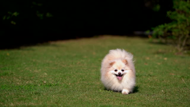 slo - mo tiny pomeranian dog running with joy - pure bred dog stock videos and b-roll footage