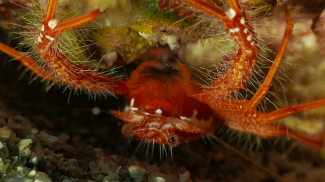 tiny red fairy crab undersea - reef stock videos & royalty-free footage