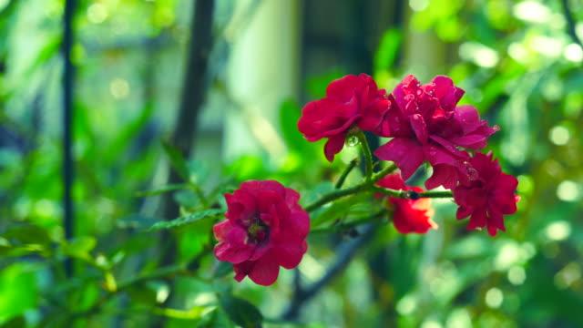 kleine rode roos op boom