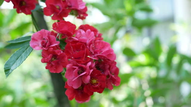 tiny red rose on tree - botany stock videos & royalty-free footage