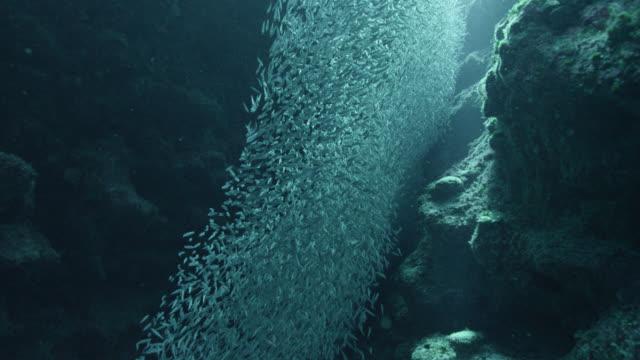 vídeos de stock e filmes b-roll de tiny silverside fish swirl and shimmer, cayman islands - cardume de peixes