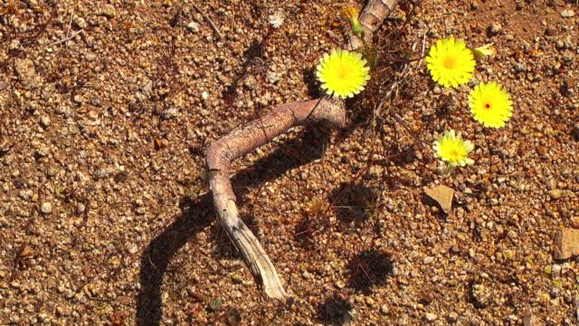 Tiny wildflowers bloom on the desert floor.