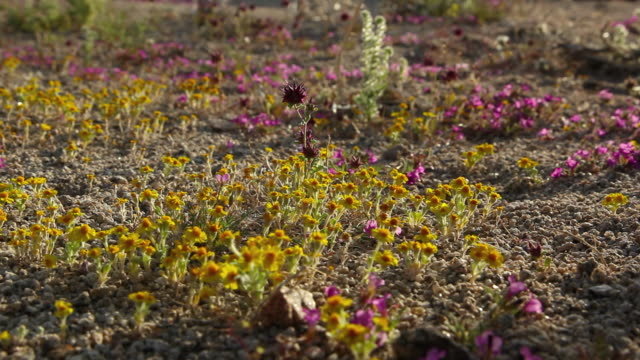 tiny wildflowers cover the desert floor. - wildflower stock videos & royalty-free footage