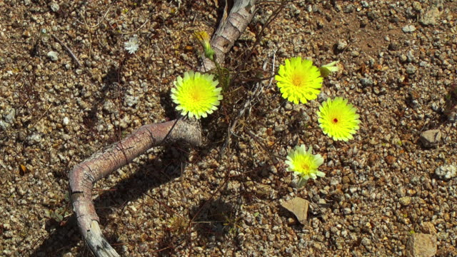 tiny yellow flowers bloom on the desert floor. - wildflower stock videos & royalty-free footage