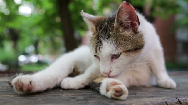 vidéos et rushes de chat fatigué lissage et essayant d'obtenir un peu de sommeil - se lisser les plumes