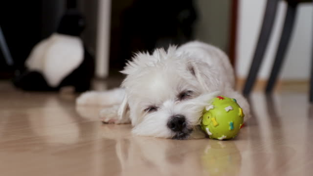 vídeos de stock e filmes b-roll de tired dog trying to have a nap. maltese dog laying down with his ball toy inside of apartment - cão miniatura