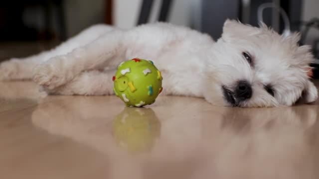 vídeos y material grabado en eventos de stock de perro cansado tratando de dormir una siesta. perro maltés acostado con su juguete de bolas dentro del apartamento - acostado boca abajo