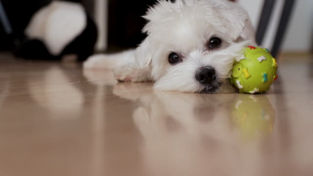 tired dog trying to have a nap. maltese dog laying down with his ball toy inside of apartment - wooden floor stock videos & royalty-free footage