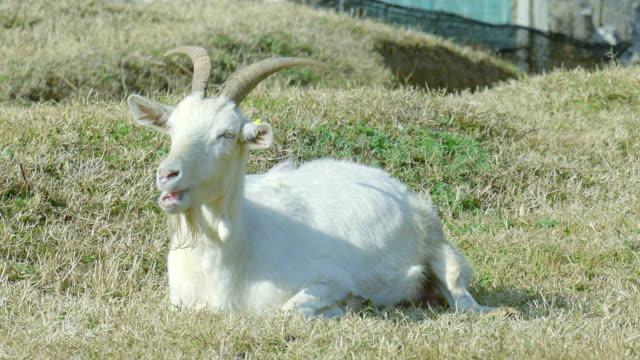 タイアードヤギお昼寝にグリーンフィールド - ゴーティー点の映像素材/bロール