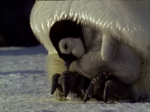 tired looking emperor penguin chick sits on adult's feet in snow then stretches and yawns - emperor stock videos and b-roll footage