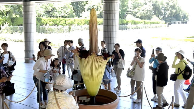 titan arum, a rare indonesian plant known to have one of world's largest flower, blossomed in a botanical garden in tokyo on wednesday july 22. the... - titan moon stock videos & royalty-free footage