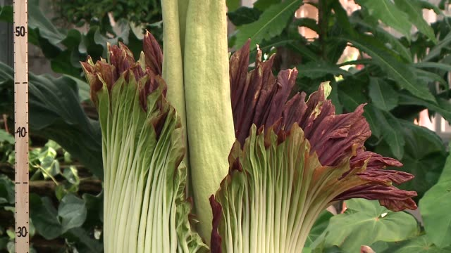 wgn a titan arum's inflorescence opens and emits a powerfully stinky smell at chicago's garfield park conservatory on june 17 2016 - smelling stock videos & royalty-free footage