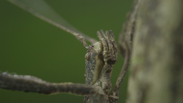 titan stick insect - invertebrate stock videos & royalty-free footage