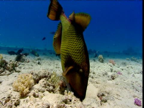 titan triggerfish digs in sand, red sea - titan moon stock videos & royalty-free footage