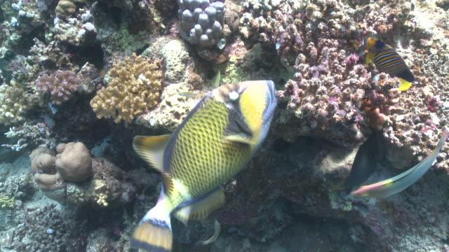 vídeos de stock e filmes b-roll de titan triggerfish (balistoides viridescens) mid feeding on coral with other reef fish  - grupo médio de animais