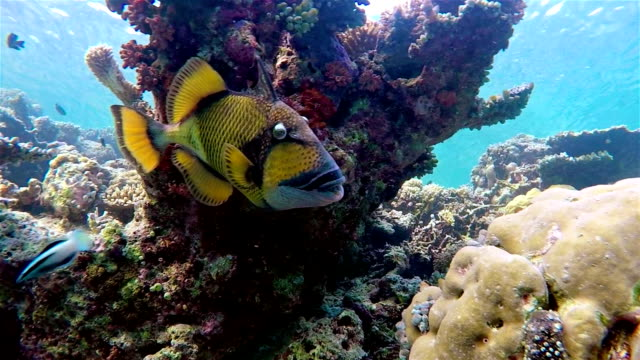 titan triggerfish on coral reef - maldives - tropical fish stock videos & royalty-free footage