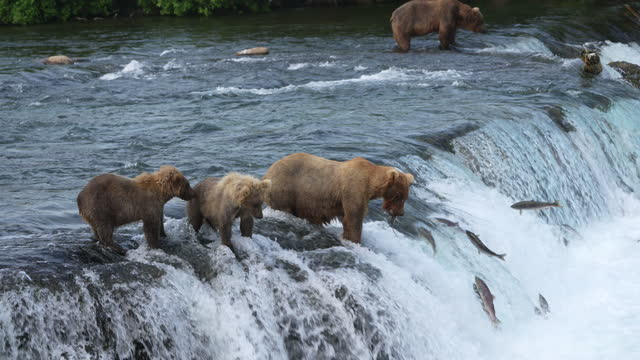 title: brown bear (#128 grazer) with her two yearling cubs catches a sockeye salmon at brooks falls in katmai national park, alaska - animal behaviour stock videos & royalty-free footage