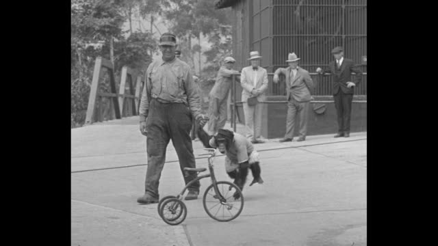bicycling fad strikes coast santa barbara prima donna finds cycling fine for her voice and temperament / man in shirt and suspenders leads chimpanzee... - blouse stock videos and b-roll footage