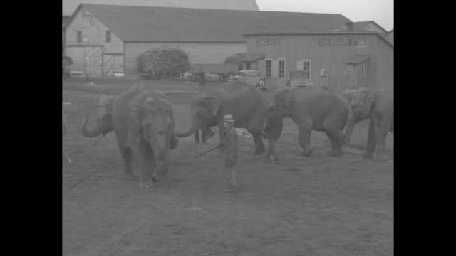 "vídeos de stock e filmes b-roll de ""biggest circus stars - glimpse behind scenes in peru, ind., shows what happens in winter quarters"" / line of elephants as they rear up and place... - circo"