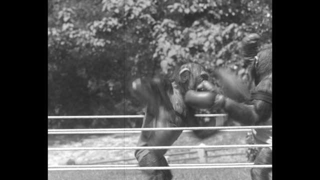 boxing chimps are champions in ring battle sockem sammy and battling billy meet in st louis zoo / three shots of chimps boxing in ring two men... - jumping stock videos & royalty-free footage