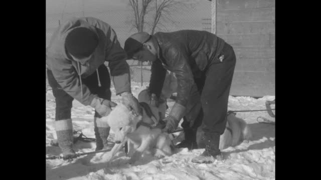canadian huskies learn to pull together for races harry beauvais trains new set of sled dogs at caughnawaga for winter contests throughout the... - pulling stock videos & royalty-free footage