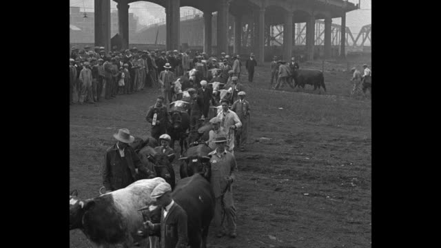 fat wins prize at this exhibit kansas city mo grand prizewinners parade at midwestern stock show / livestock owners parade with their cattle during... - spielkandidat stock-videos und b-roll-filmmaterial