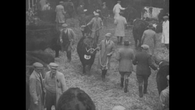 fine fat cattle cheer beefeaters of merrie england yuletide stock show at norwich brings pleasing reminder of festive season / people walking their... - bull animal stock videos & royalty-free footage