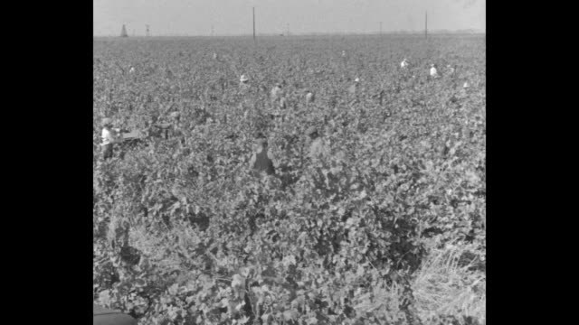 for the thirst of a nation at guasti california great wineries prepare 2000 gallons of that stuff just in case / pan workers in large vineyard /... - farm worker stock videos & royalty-free footage
