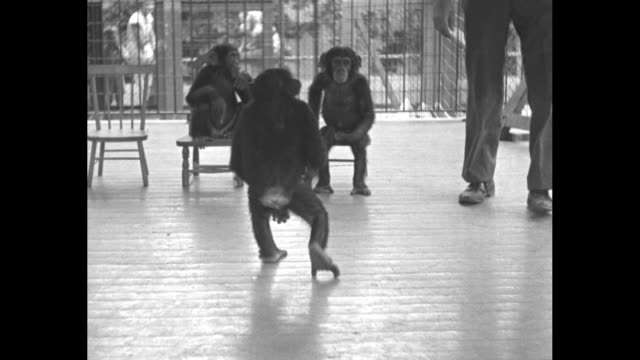 """""""good old school days here again"""" / four chimpanzees marching in line across floor in large cage; their keeper or trainer directs each to his chair,... - tightrope walking stock videos & royalty-free footage"""