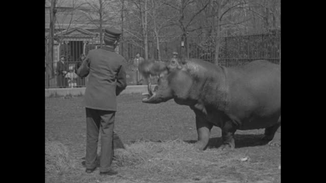 """hippo enjoys lunch in wide open space as spring whets appetite; 'pete murphy,' new york zoo's ponderous water pachyderm goes in for his food in a... - animal mouth stock videos & royalty-free footage"