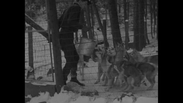 huskies train in snow for big dog derby mrs milton seeley noted driver works her teams at wonalancet nh / vs dogs chained to individual dog houses... - malamute stock videos and b-roll footage