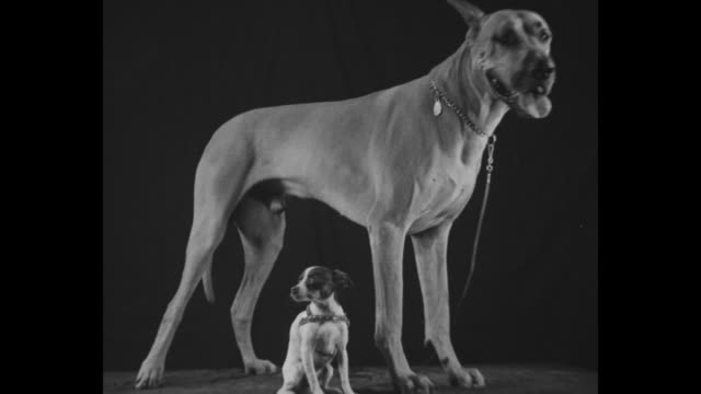 """kennel kings"" / woman holding on to an irish wolfhound, two chihuahuas in a silver trophy cup, and a woman holding a small terrier / the chihuahuas... - cagnolino da salotto video stock e b–roll"